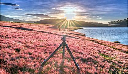 "Pink grass hills – The beautiful princess ""sleep deeply"" in Da Lat forest."