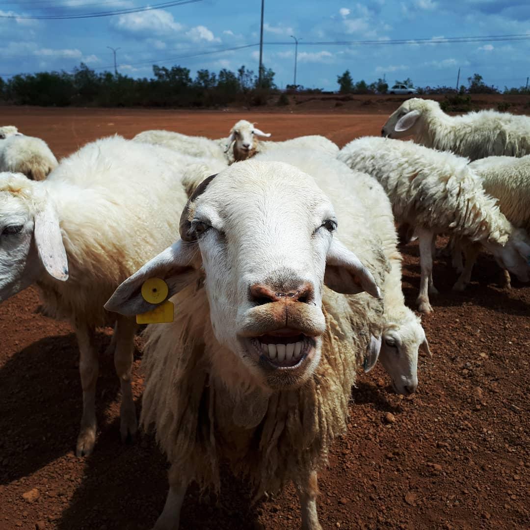 Du lịch Vũng Tàu - Vui chơi với những chú cừu đáng yêu- Ảnh: sưu tầm