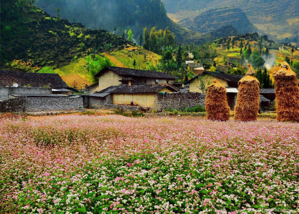 Du lịch Hà Giang-Phong cảnh hữu tình hoa tam giác mạch trên các bản làng dân tộc Hà Giang Ảnh: Phạm Thị Thu Hà