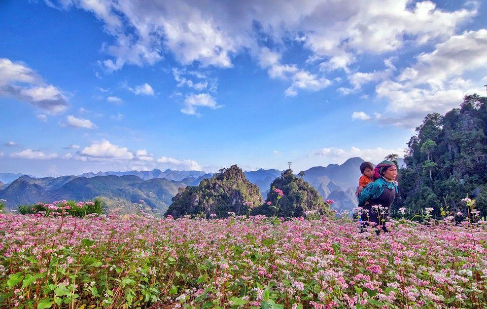 Du lịch Hà Giang-Những cô gái dân tộc Mông giản dị giữa rừng hoa tam giác mạch bạt ngàn. Ảnh: Trần Bảo Hòa
