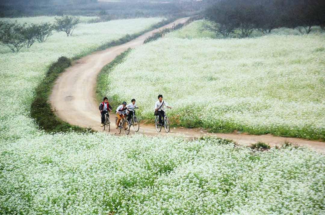 Hoa Mộc Châu - Những đứa trẻ đi học trên con đường ngập tràn cải trắng. Ảnh sưu tầm