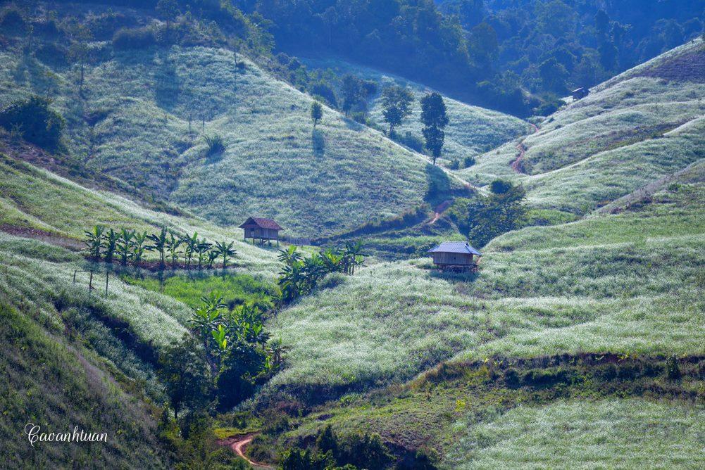 Hoa Mộc Châu - Hoa cải trắng được trồng kín cả một quả đồi, kéo dài từ thung lũng này đến chân núi nọ. Ảnh: Cao Anh Tuan