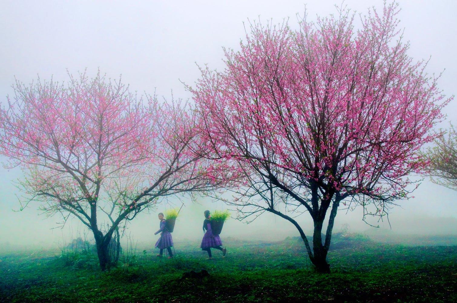 Du lịch Mộc Châu - Hoa đào nở hòa vào làn sương mờ núi rừng Mộc Châu. Ảnh: Lê Huy