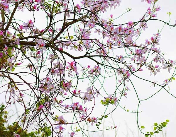 Hoa Mộc Châu - Hoa ban biểu tượng của Tây Bắc và đi vào thơ ca lòng người. Ảnh sưu tầm