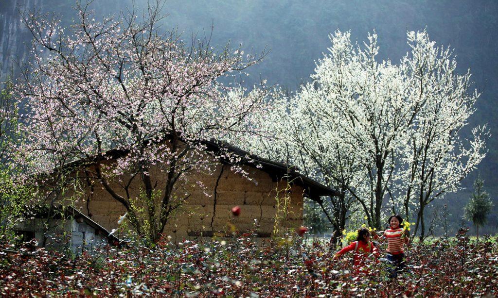 Y Tý- sapa travel- Mùa hoa dào, mận miền Tây Bắc đẹp dịu dàng , nức lòng lữ khách. Ảnh: Sưu tầm