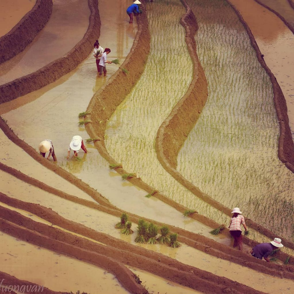 Y Ty- Sapa travel- The girls of minority ethnic groups are busy to transplant rice. By: @xuanduongvan