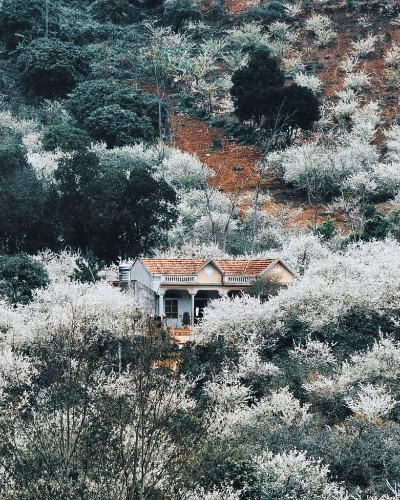 Du lịch vùng cao- Du lịch Tây Bắc- Cảnh đẹp Tây Bắc-Mùa hoa mận quyến rũ xứ Mộc Châu. Ảnh: theamazinghaianh
