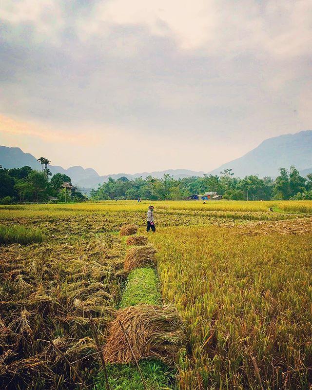 Du lịch Mai Châu - Cảnh đẹp Mai Châu - Cảnh người dân thu hoạch lúa làng Pom Coọng. Ảnh: @jonnyrouse7