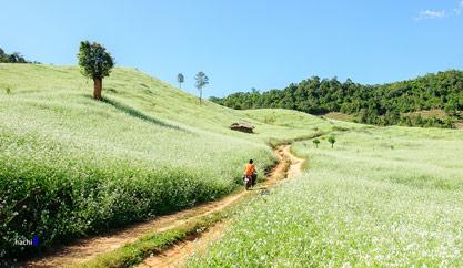 Moc Chau – The paradise of cauliflower