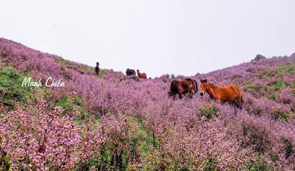 """Ngắm cánh đồng hoa tím """"quyến rũ"""" giữa biển mây Tà Chì Nhù"""