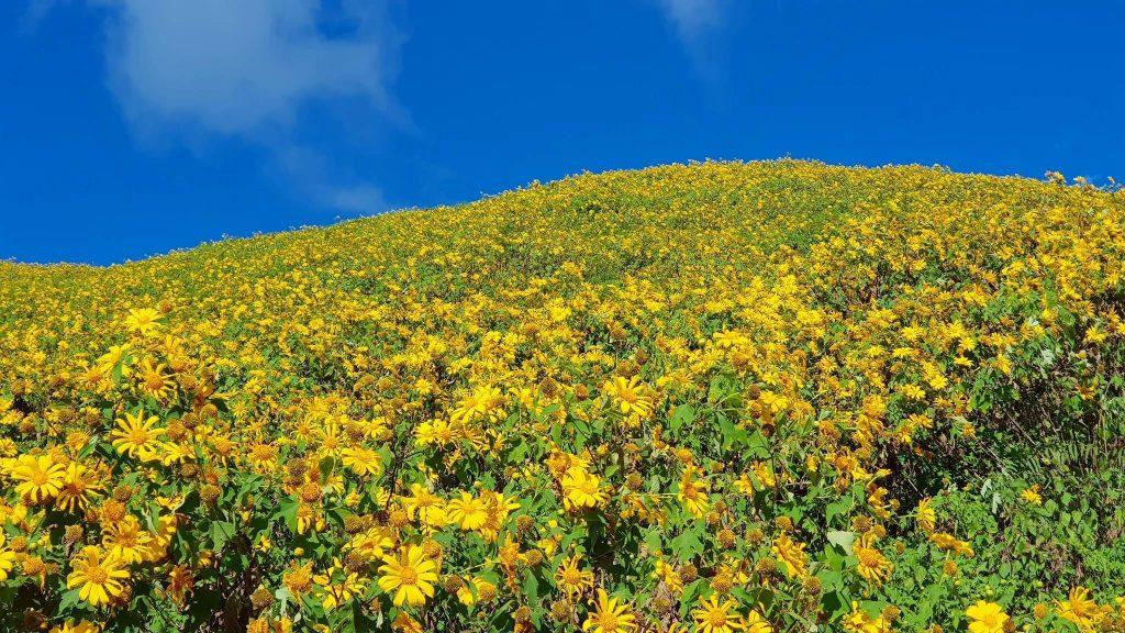 Many wild sunflowers on both sides of the roads in Dalat. Photo: Đà Lạt Trong Tôi.