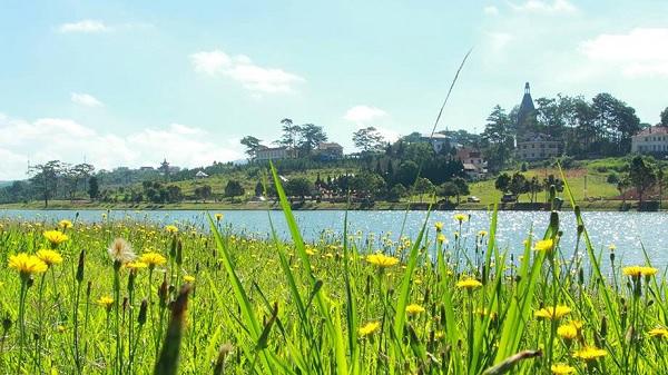 Dandelion is bloom in Xuân Hương Lake. Photo: Collection
