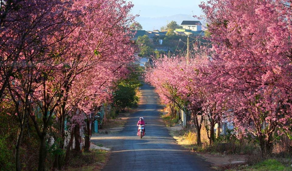Sakura cherry blossom is bloom in two sides of the road to Cadasa ancient villa. Photo: Suatuoi