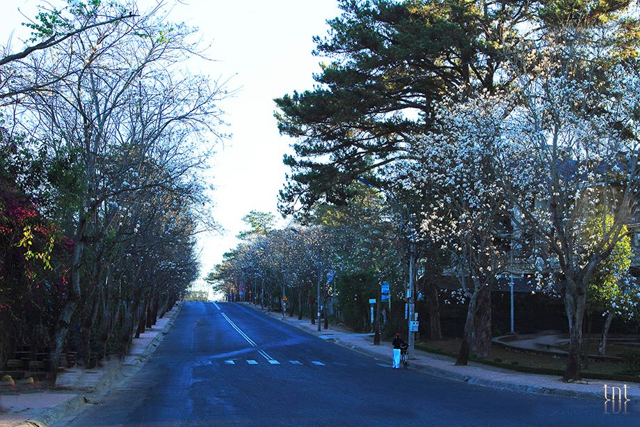 From Februaryto March, Ban flowers is bloom covering many streets in Dalat a romantically white. Photo: Đà Lạt Trong Tôi