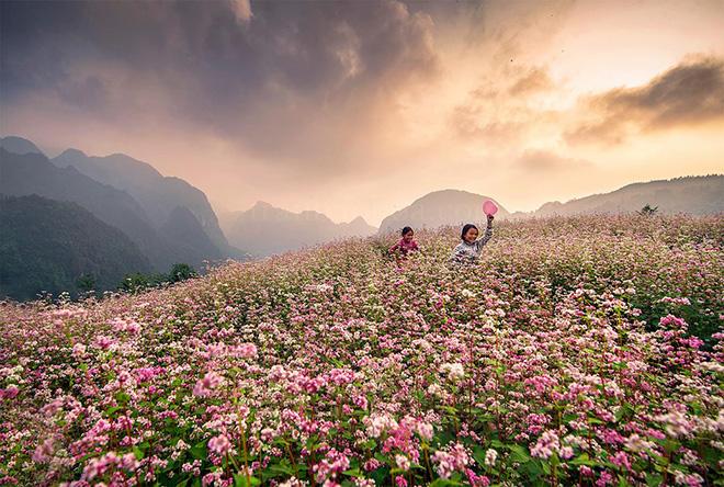 Hoa tam giác mạch được xem là đặc sản nức tiếng ở Hà Giang. Ảnh: Trần Bảo Hòa