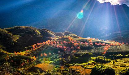 Mùa xuân về trên những đồi chè Sapa
