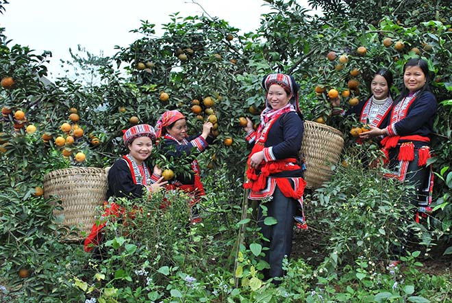 Bac Quang orange is a symbol of southern mountainous area of Ha Giang. Photo: Collection