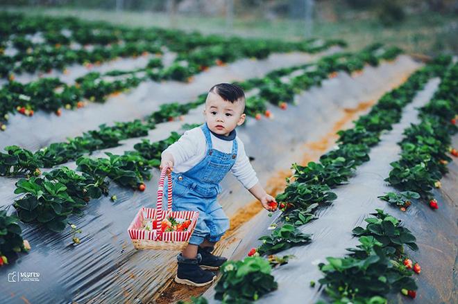 Enjoy fresh strawberry at the garden in Moc Chau. Photo: chimifarmmocchau