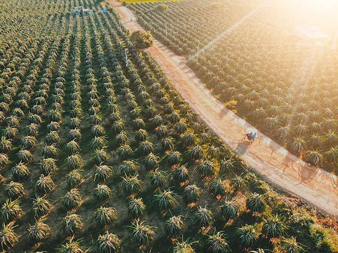 Đến Bình Thuận, không khó để du khách có thể chiêm ngưỡng những vườn thanh long rộng lớn thế này!. Ảnh: Sưu tầm