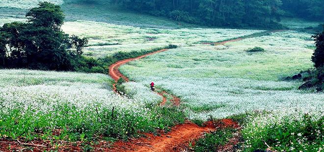 Từng vườn cải nhuộm trắng các con đường quanh bản và trên triền núi. Ảnh: Sưu tầm
