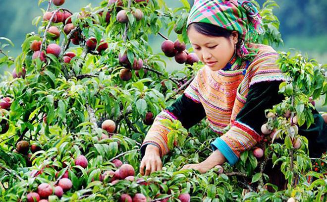 Đến Mộc Châu để thưởng thức những trái mận đỏ mọng, tươi mát nhé!. Ảnh: Sưu tầm