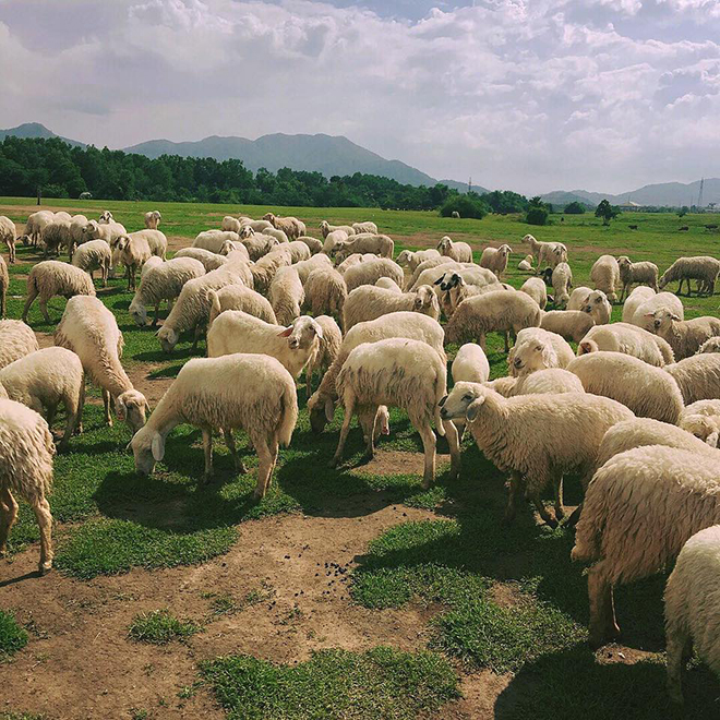 The cutie sheep in Suoi Nghe ( Suoi Nghệ) sheep field. Photo: @btrxng