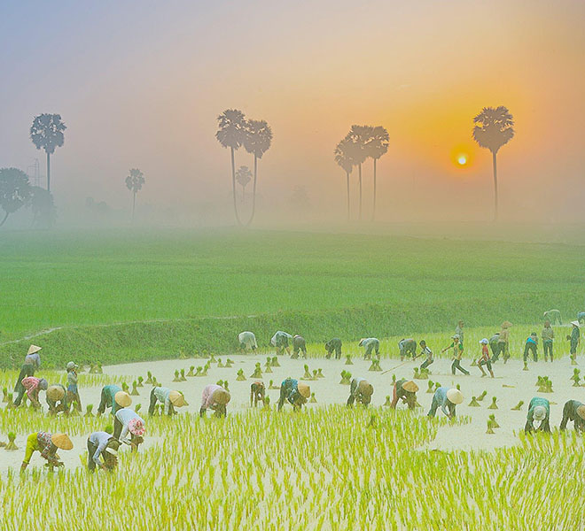 The picture of people coming to the field to cultivate rice in the early morning in An Giang. Photo: Nguyễn Hoàng Nam